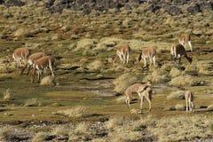 Vicuña en el Altiplano, Chile Imagenes de archivo