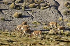 Vicuña en el Altiplano, Chile Fotografía de archivo