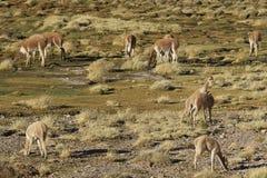 Vicuña en el Altiplano, Chile Foto de archivo libre de regalías