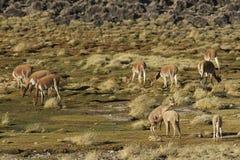 Vicuña en el Altiplano, Chile Fotos de archivo