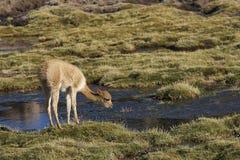 Vicuña en el Altiplano de Chile septentrional Fotografía de archivo libre de regalías