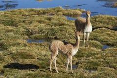Vicuña en el Altiplano de Chile septentrional Fotos de archivo libres de regalías