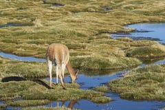Vicuña en el Altiplano de Chile septentrional Imágenes de archivo libres de regalías