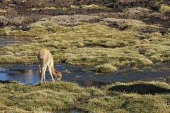 Vicuña en el Altiplano de Chile septentrional Imagen de archivo libre de regalías