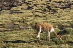 Vicuña en el Altiplano de Chile septentrional Fotografía de archivo