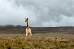 Vicuña que hace frente a la montaña en los Andes debajo del cielo nublado imagenes de archivo
