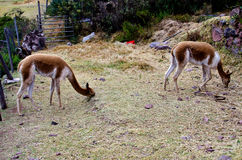 Vicugnas. The vicuña is a species of mammal artiodactilo of camelids and the Group of the South American camelids family who lives in the Andean Highlands, in Stock Photo