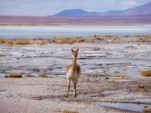 Vicuña sur l'altiplano Photographie stock