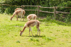 Vicuña Royalty Free Stock Image