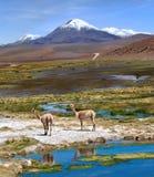 Vicuñas在阿塔卡马,火山Licancabur和Juriques吃草 免版税库存图片