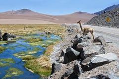 Vicuñas e l'alpaca pascono nell'Atacama Fotografie Stock Libere da Diritti