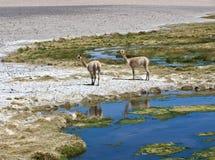 Vicuñas e l'alpaca pascono nell'Atacama Fotografia Stock