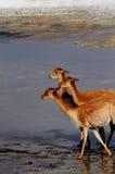 Vicuñas en Bolivia Foto de archivo libre de regalías