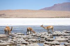 Vicuñas en la laguna de los Andes en Bolivia Imágenes de archivo libres de regalías