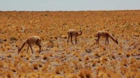Vicuñas en la pradera chilena /pan de izquierda a derecha almacen de video