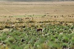 Vicuñas en los Andes de Perú fotos de archivo libres de regalías