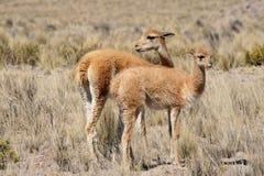 Vicuñas en Perú fotografía de archivo