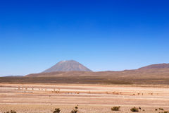 Vicuñas under Misti volcano Royalty Free Stock Photo