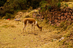 Vicugna. The vicuña is a species of mammal artiodactilo of camelids and the Group of the South American camelids family who lives in the Andean Highlands, in Stock Images
