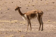 Vicuña From The Peruvian Altiplano At Half Shearing. Royalty Free Stock Photography