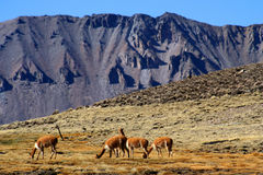 Free Vicuñas Grazing In Chile Stock Photography - 28421272