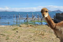 Vicuña on the shores of lake Titicaca Royalty Free Stock Photography