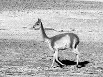 vicuña Foto de archivo libre de regalías
