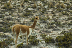 Vicuña grazing Stock Photography