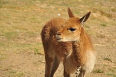 Vicuña on the shores of lake Titicaca Royalty Free Stock Photos