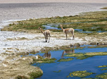 Vicuñas and alpacas graze in the Atacama Stock Photo