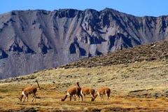 Vicuñas grazing Stock Photography
