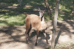 Vicugna στο ζωολογικό κήπο, πάρκο Yumka, Villahermosa, Tabasco, Μεξικό Στοκ φωτογραφία με δικαίωμα ελεύθερης χρήσης