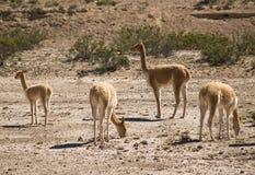 vicugna Перу Стоковая Фотография RF