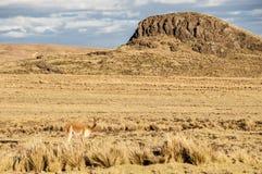 Vicugna adorabile allegro nella pampa Galeras, Perù di Reserva Nacional Fotografia Stock Libera da Diritti