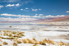 Vicugna in Bolivië Royalty-vrije Stock Afbeeldingen