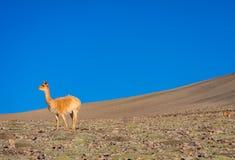 Vicugna em seu habitat natural fotos de stock royalty free