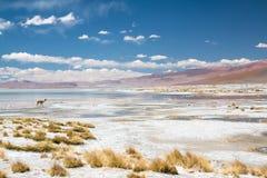 Vicugna en Bolivia Imágenes de archivo libres de regalías