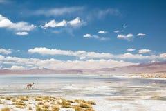 Vicugna en Bolivia Foto de archivo libre de regalías