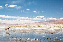 Vicugna en Bolivia Fotografía de archivo libre de regalías