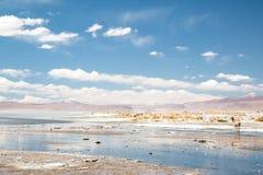Vicugna en Bolivia Imagen de archivo libre de regalías