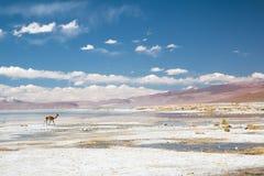 Vicugna en Bolivia Foto de archivo