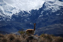 vicugna in Lauca national Park stock photography
