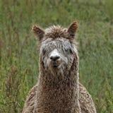 Vicugna pacos, Alpaca, Paco Stock Image