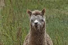 Vicugna pacos, Alpaca, Paco. Alpaca (Vicugna pacos), Paco on a meadow in Germany, Europe Royalty Free Stock Images