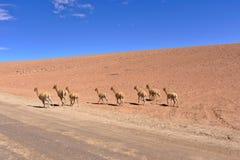 Vicugna (Vicugna vicugna) group of nine animals running away on. The desert near a road Royalty Free Stock Image
