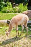 Vicugna at the Vienna zoo Royalty Free Stock Photos