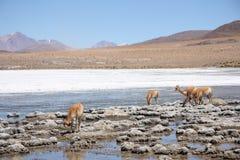 Vicugnas在Altiplano,安地斯在玻利维亚 库存照片