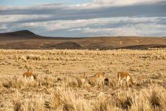 Vicugnas adorabile allegro nella pampa Galeras di Reserva Nacional Fotografia Stock Libera da Diritti