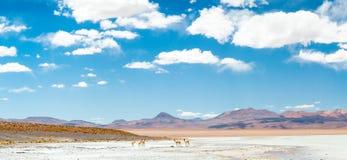 Vicugnas en Bolivia Imagen de archivo libre de regalías