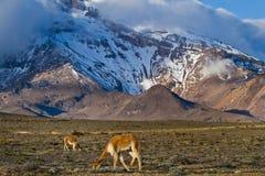 Vicugnas längs utlöparen av den Chimborazo vulkan royaltyfri fotografi